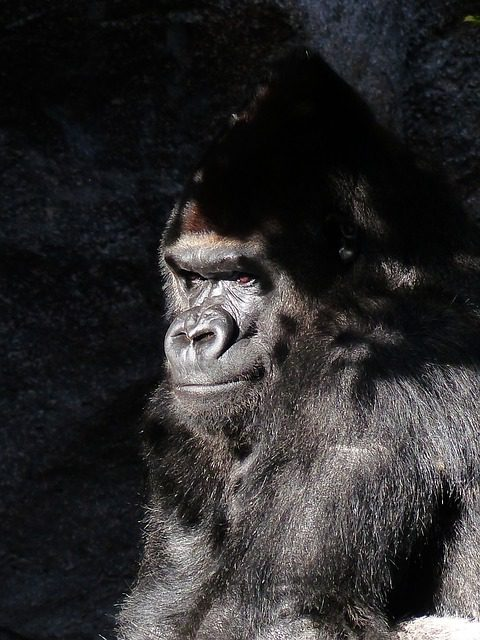 this is A gorilla. not THE gorilla. Via Pixabay