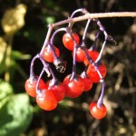 The_berries_of_Bittersweet_-_geograph.org.uk_-_970950