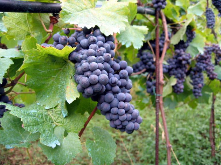 Vineyard_in_Montone[1]