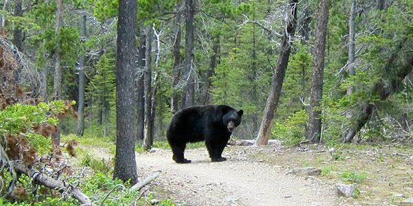 A black bear (not Bigfoot) I encountered last month in Glacier National Park