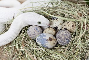 Ratsnake and eggs photo by Kuznetsov Alexey. Courtesy of Shutterstock, all rights reserved.