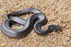 Cape Wolf Snake photo by Bernard Dupont. Licensed under CC 2.0
