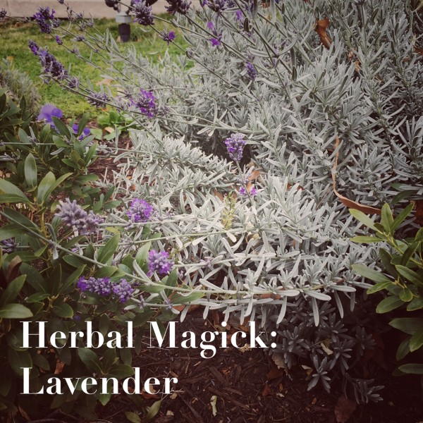 Herbal magick of Lavender. Photo by Lilith Dorsey. All rights reserved.