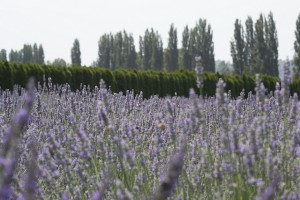 Woodinville Lavendar field photo by Terri Stewart. Licensed under CC 2.0