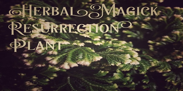 Herbal Magick Resurrection Plant photo by Lilith Dorsey. All rights reserved.