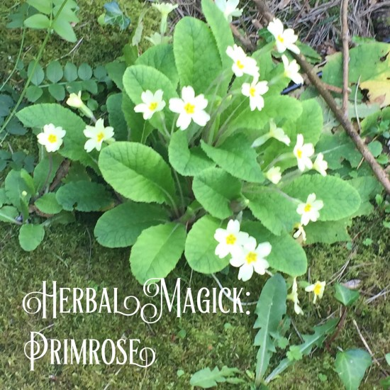 Primrose photo by Lilith Dorsey. All rights reserved.