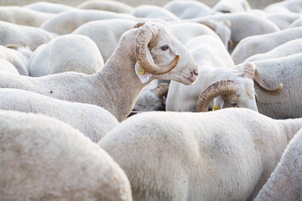 Koyun ve Koçlar