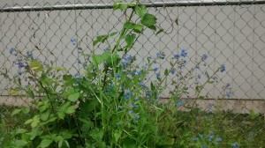 Blackberry, comfrey and morning glory. All over the yard. All over.