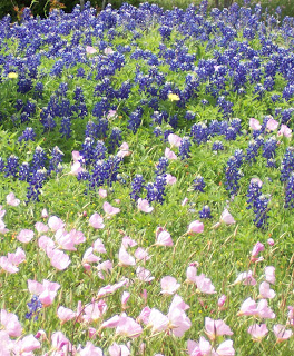 Another Texas tradition was started by Lady Bird Johnson, after her return from Washington, D.C. as First Lady to President Lyndon Baines Johnson. Lady Bird persuaded the government of the State of Texas to seed bluebonnets and other wildflowers along the highways throughout the state. Every spring the flowers return as a legacy of the First Lady. (Wikipedia)