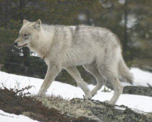 Quebec wild wolf