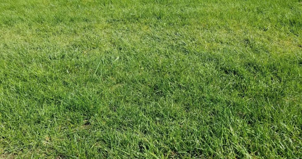 Refuge Green Grass