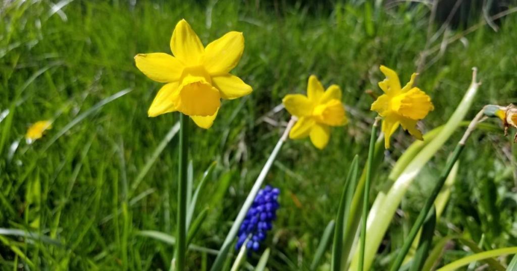 Refuge Yellow Daffodil