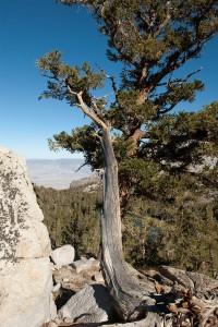 By Jesse Wagstaff. http://commons.wikimedia.org/wiki/Category:Pinus_balfouriana#mediaviewer/File:Pinus_balfouriana_Onion_Valley_3.jpg