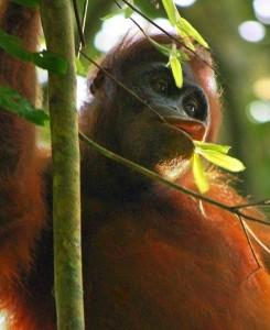 """""""Kutai Orangutan 2008"""" by Neil WWW.NEILSRTW.BLOGSPOT.COM - Wild Orangutan. Licensed under CC BY 2.0 via Wikimedia Commons - http://commons.wikimedia.org/wiki/File:Kutai_Orangutan_2008.jpg#/media/File:Kutai_Orangutan_2008.jpg"""