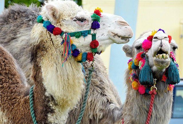 camels-112723_640
