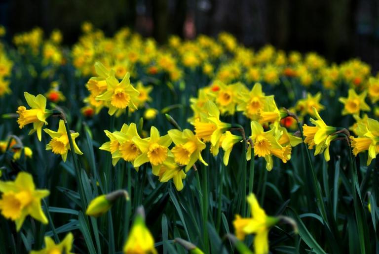 daffodil-286591_960_720