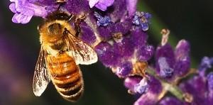 honeybee-lavender