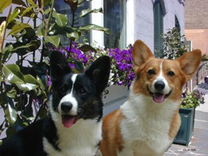 Kelsey the Cardigan and Penny the Pembroke Welsh Corgis. Dave Crosby, 2004.