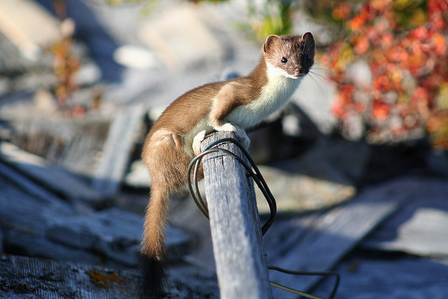 Least Weasel, Bering Land Bridge National Preserve