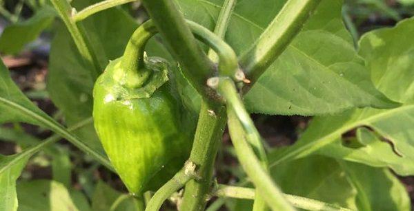 A habanero in my garden