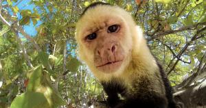 capuchin selfie