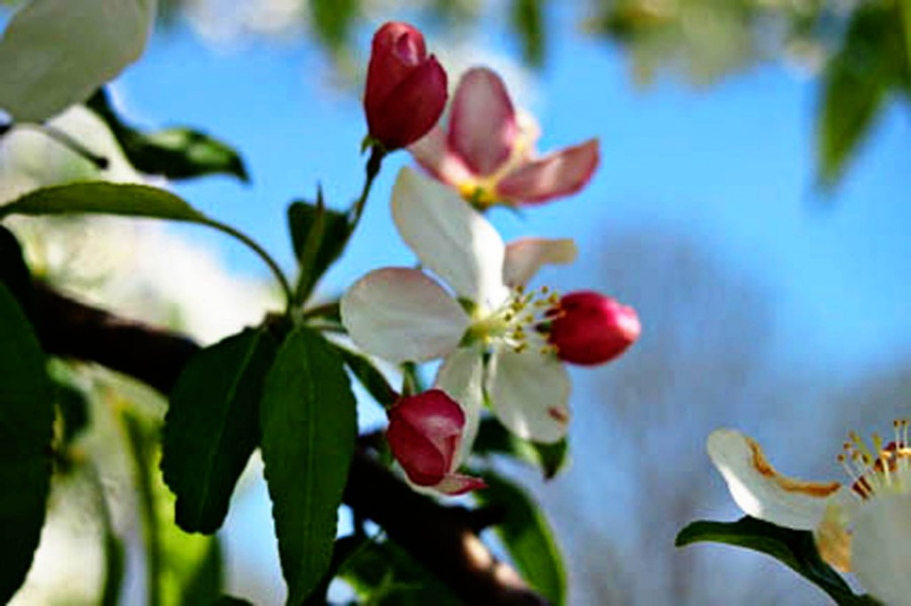 I took this picture of a crabapple blossom in May. Now that it's October, it's too late to decide whether to let it become a crabapple.