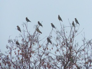 """""""Waxwings in the Rowans"""" by Harold Rhenisch.  Copyright (c) 2015.  Used by permission."""