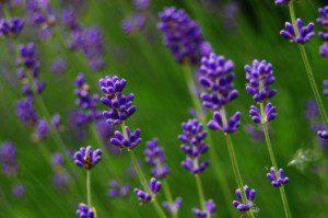 """""""Lavender"""" by Lode Van de Velde. (Public domain image)."""