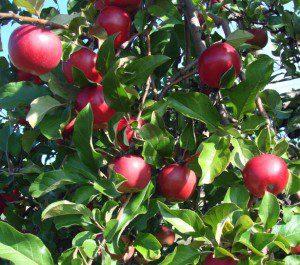 apples-apples-bobbi-jones-jones