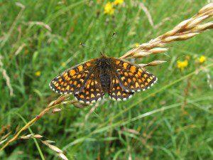 butterfly ineke van rossum