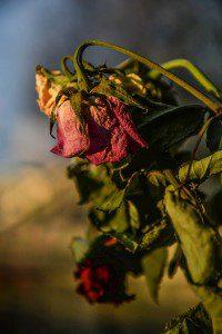 roses-1350840_640