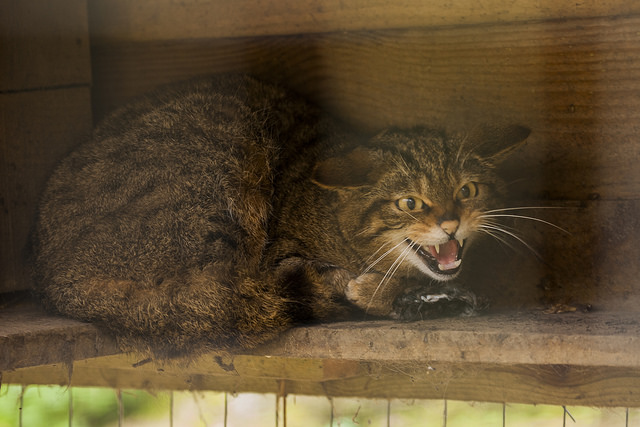 This Scottish Wildcat is not happy. And neither am I. (Credit: Christopher Martin, CC license.)