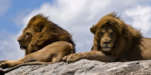 """Lions on Rock"" by William Warby"
