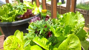 Urban Garden Marigold 6-9-15