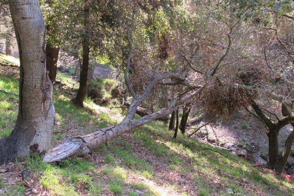 A limb split off a live oak tree and fell to the ground in the San Francisco Bay Area. Photo by Barbara Newhall