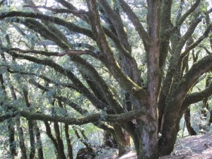 Live oak tree with lichen growing on Mt. Tamalpais, Marin county, CA. Photo by Barbara Newhall
