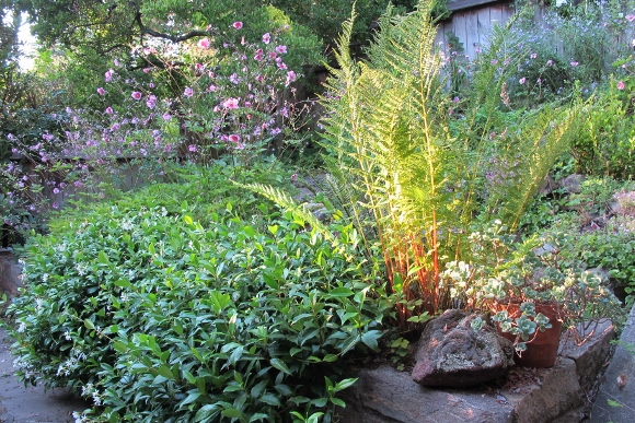 Japanese anemone, star jasmine and a volunteer local fern bump elbows in my garden. Photo by BF Newhall