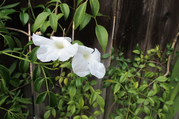 In my garden next to the fence, the bower vine holds its own. Photo by Barbara Newhall