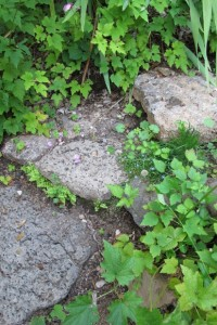 The volcanic rock steps that Jillian Steinberger installed in my garden are now crowded with greenery. Ferns are popping out from between the steps, and at right, wild strawberrys and Japanese anemones compete. Photo by BF Newhall