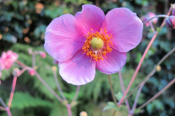 Pink japanese anemone blossom with yellow center. Just one of the hundreds of Japanese anemone blossoms having their way with my front yard right now. Photo by Barbara Newhall
