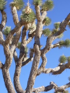 The limbs of a Joshua tree against a blue sky at Joshua Tree National Park. Photo by Barbara Newhall