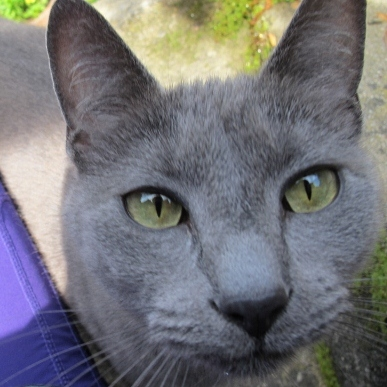 Gray cat face with yellow eyes. Photo by Barbara Newhall