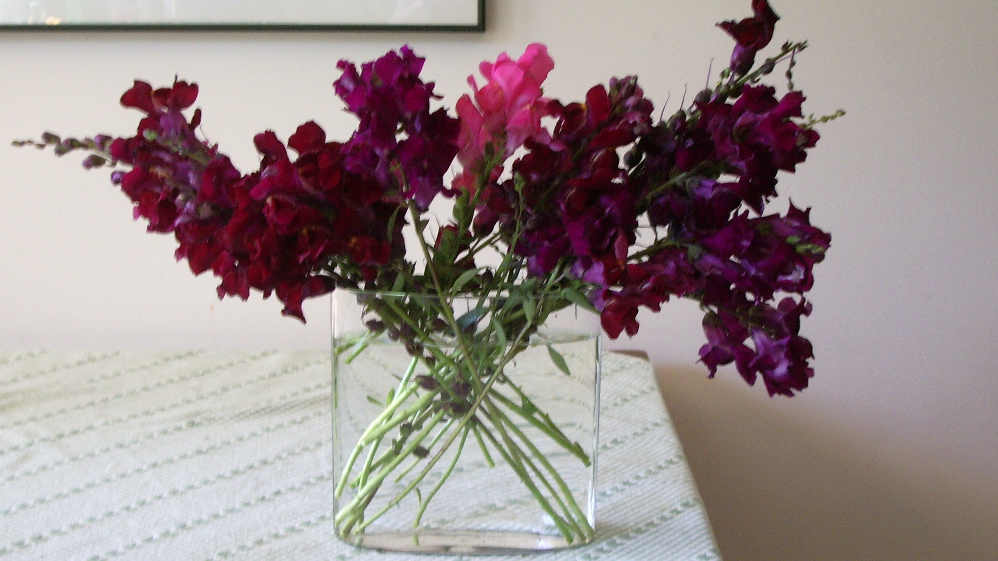 Maroon snapdragons arranged in a glass vase. Do snapdragons have a will to live? Photo by Barbara Newhall