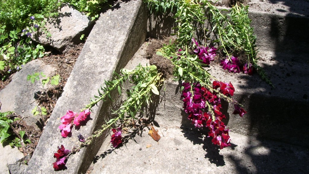 Floricide: Maroon awful snapdragons and their roots, pulled up from garden and lying on cement steps. Photo by Barbara Newhall