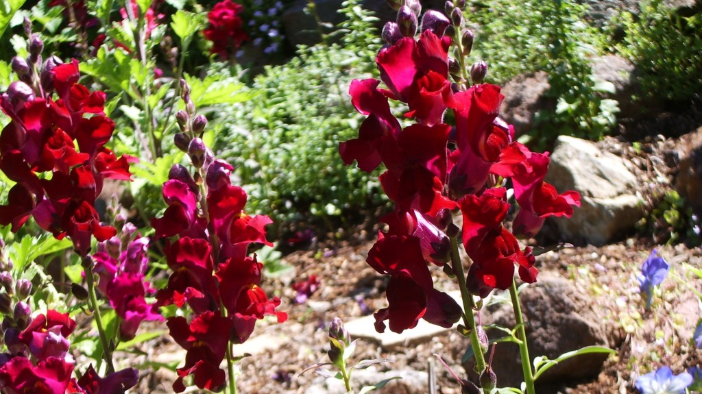Scarlet and maroon snapdragons too ugly to stay in rock garden. Is it OK to Kill Plants? Photo by Barbara Newhall