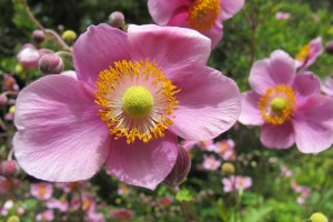 Pink Japanese anemones in flower. Can flowers be too perfect? Photo by Barbara Newhall