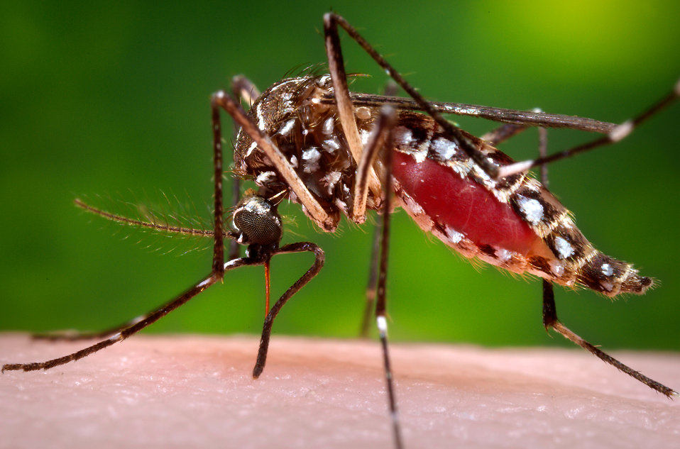 mosquito-feeding-on-blood-pv