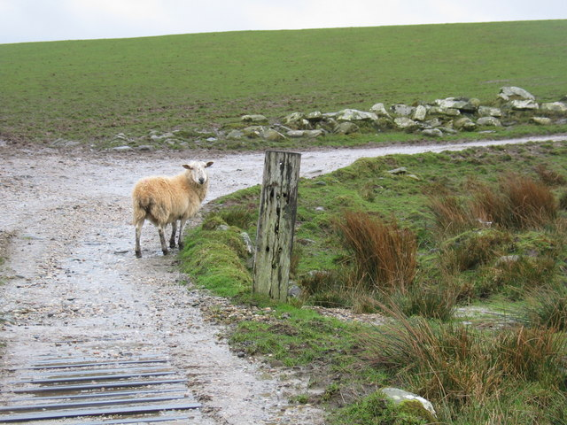https://commons.wikimedia.org/wiki/File%3ALost_sheep_on_farm_track._-_geograph.org.uk_-_368111.jpg; Johnny Durnan [CC BY-SA 2.0 (http://creativecommons.org/licenses/by-sa/2.0)], via Wikimedia Commons