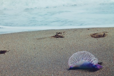 "The jellyfish in question.  This gorgeous photo taken by the nice young woman who said, ""Um. That's a Portuguese man o' war"" as I had it in my hands exclaiming ""Ooo what's this!"""