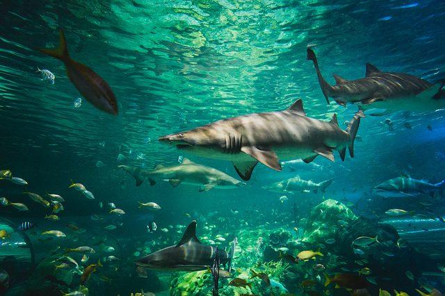 Sharks in a tank.